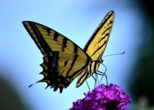 Butterflies Remind of Love Ones in Heaven
