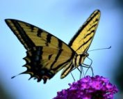 Butterflies Remind of Love Ones in Heaven featured image